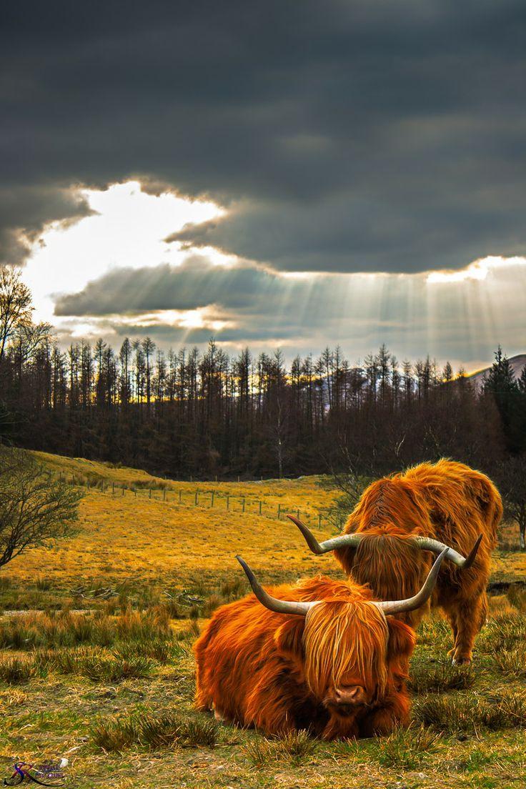 Unas vacas con un protagonismo muy... animal.